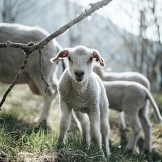 """grace–upon–grace: """"Norway, Philipp """" Barnyard Animals, Baby Animals, Cute Animals, Animal Pictures, Cute Pictures, The Farm, Mourning Dove, Animal Crafts For Kids, Sheep And Lamb"""