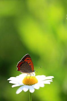butterfly daisy--love!