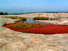 Lunar-like landscapes with bright red flowers at the Arabia Mountain National Heritage Area near Atlanta, Georgia