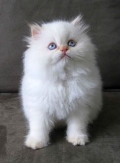 Also obsessed with fluffy white kittens