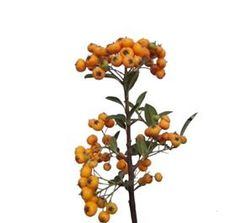 Pyracantha from Mayesh Wholesale Florist