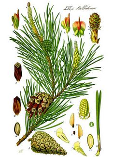 Pine - The History Of The Tree Of Life