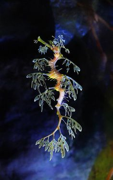 Did you know the tail of a male leafy sea dragon will turn bright yellow when he is ready to mate? (This stunning creature was photographed by Brad Chiplin)