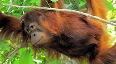 Your shampoo, your ice cream, your margarine, your lipstick – all contain palm oil. Most palm oil is produced in Malaysia and Indonesia on land that was once thriving rainforest. As global de...