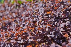 Acaena inermis 'Purpurea' (purple groundcover)