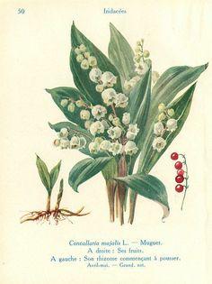 Botanical illustrations taken from'Les Fleurs de Jardins' A. Guillaumin,Les Fleurs de Jardins, tome I :Les Fleurs de Printemps, Paul Lechevalier, 1929.Watercolours byJ. Eudes (1856-1938).