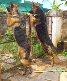 German Shepherd Dogs. Beautiful