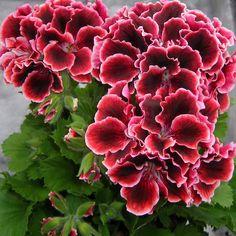 Geranium 'Adele' Pelargonium