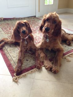 Molly & Murphy - Irish Setter puppies at 4 months