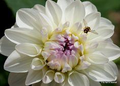 Dahlia Eveline  http://frafroetilblomst.blogspot.com