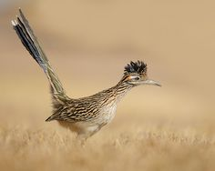 New Mexico: Roadrunner ........................................................ Please save this pin... ........................................................... Because For Real Estate Investing... Visit Now! http://www.OwnItLand.com