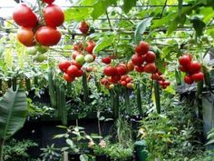 This makes it easy to harvest and keeps things off the ground. Tomatoes and Cucumbers hanging from trellis.