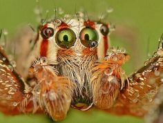 """earth-song: Jumping Spider"""" by Simon Shim--really amazing shot of a dew drenched spider Cool Insects, Bugs And Insects, Spiders And Snakes, Earth Song, Cool Bugs, Itsy Bitsy Spider, Jumping Spider, Scary Faces, Beautiful Bugs"""