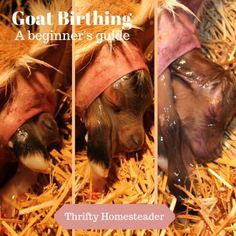 Learn everything you need to know about goat birthing including resources about the process and answers to common goat birthing/kidding questions. Keeping Goats, Raising Goats, Mini Cows, Mini Farm, Farm 2, Goat Toys, Goat Pen, Nubian Goat, Recipes