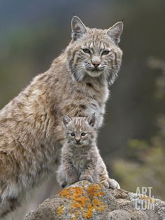Bobcat (Lynx Rufus) Mother and Kitten, North America Photographic Print by Tim Fitzharris/Minden Pictures at Art.com