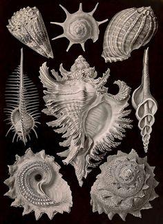 """clawmarks: """"Ernst Haeckel - Kunstformen der Natur - 1899 - via Internet Archive (also via Wikimedia) """""""
