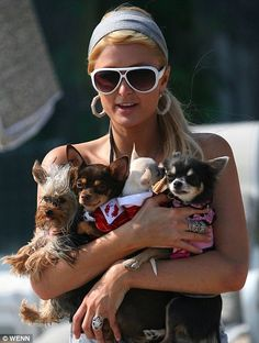 Paris Hilton (famous celebrity) enjoying the sunshine on Malibu beach with her NEW CHIHUAHUA and a number of other dogs. Beverly Hills Chihuahua, Paris Hilton Photos, Animal Rescue Center, Celebrity Dogs, Amor Animal, Ile Saint Louis, Chihuahua Puppies, Chihuahuas, Yorkies