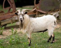 A billy goat on a farm.