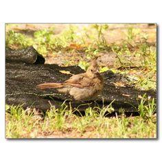 Baby Cardinal Photo Postcard