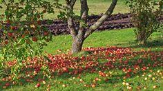 De danske frugttræer bugner af æbler i år - men hvad skal man gøre med dem?