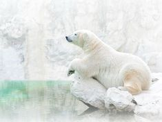 White on White: Photograph by Jongsung Ryu, National Geographic Your Shot.  Nearly camouflaged in his habitat, a polar bear (Ursus maritimus) surveys his surroundings. Cold doesn't bother these Arctic predators: Two layers of fur and thick fat act as superb insulation, even in subzero temperatures.