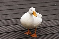 Why Do Ducks Follow the Leader? Did you know that baby ducks and geese Follow the Leader just like kids playing that game? Watch funny videos at http://drbj.hubpages.com/hub/Why-Do-Ducks-Follow-the-Leader