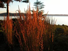 Reed feather grass, also called Karl Foester, resembles the grass we see all along the island road sides.  It is one of our favorites, as it flourishes wherever planted, even on the bluffs taking on the salt and wind. #IslandStyle