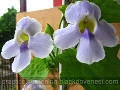 Trellised Thunbergia Grandiflora in a Garden Pot.  This is also known as the skyflower for its skyblue shade.  It can be grown in a compact-like manner yet yield beautiful blooms.