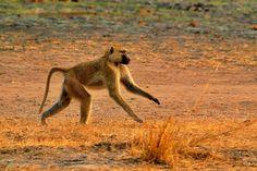 In Vwaza Wildlife Reserve, Malawi Kangaroo, Drums, Wildlife, Running, Animals, Racing, Animales, Animaux, Kangaroos