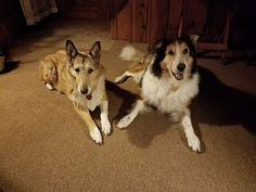 Megan and Ollie, a wonderful pair of older Scottish Collies. Scotch Collie, Livestock, Corgi, Animals, Animales, Animaux, Corgis, Animal, Animais