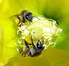 California High Desert Honey Bees Pollinating a Yellow Beavertail Cactus Flower.