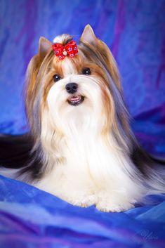 Biever Terrier photo