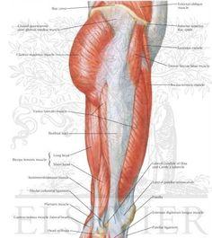 Utside av låret - anatomi og muskler - Foto Netter