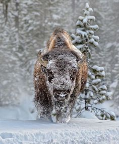 American Bison-once so vital to Native American life. Intruders took care of that.