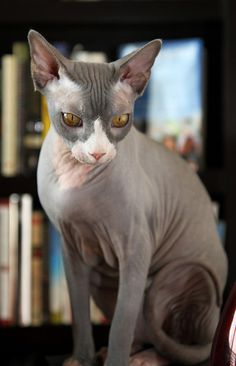 5 things you didn't know about sphynx cats I Love Cats, Crazy Cats, Cute Cats, Adorable Kittens, Animal Gato, Sphinx Cat, Cat Pose, Here Kitty Kitty, Sleepy Kitty