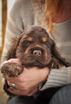 American Cocker Spaniel Pictures (Reilly as a puppy looked just like this, except he had green eyes) American Cocker Spaniel, Cocker Spaniel Puppies, Chocolate Cocker Spaniel, English Cocker Spaniel, Beautiful Dogs, Animals Beautiful, Cute Animals, Cute Puppies, Dogs And Puppies