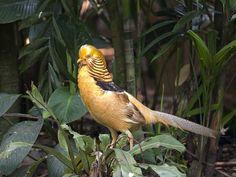 Golden Pheasant _ JBP ☺ | by mahi mahi 163