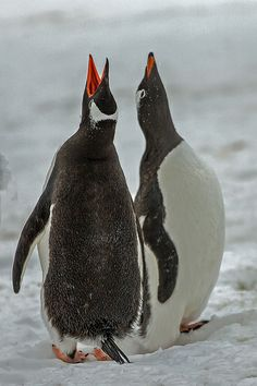 Gentoo Penguin Courtship, Neko Harbor, Antarctica