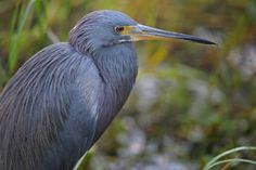 Blue Heron by Diana Robinson on 500px