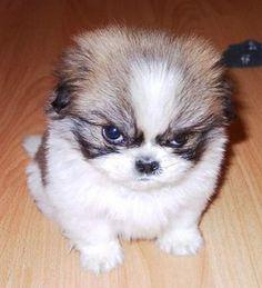 One very grumpy shitzu puppy. Grrrrr...