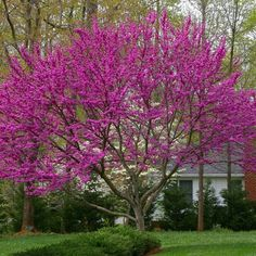 Oklahoma Redbud is one of the first trees to flower in early spring! The large clusters and profuse bloom of petite purple-red flowers brighten any size yard! Trees And Shrubs, Flowering Trees, Trees To Plant, Redbud Trees, Blooming Trees, Garden Trees, Garden Plants, Fence Garden, Rain Garden