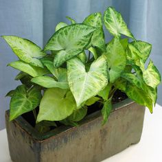 Syngonium podophyllum (Arrowhead Vine) Almost as easy to grow as a pothos and twice as exciting in its leaf variegation, arrowhead vine flourishes in a variety of light conditions and is a wonderful selection for a bedroom.