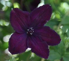 Buy clematis (group Clematis Dark Eyes - Produces masses of late summer flowers: 2 lt pot cane): Delivery by Crocus Clematis Plants, Purple Clematis, Clematis Flower, Clematis Vine, Garden Plants, Shade Garden, Red Climbing Roses, Climbing Vines, Black Flowers