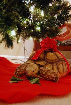Florida Herps - Sulcata Tortoise, $109.95 (http://www.floridaherps.com/products/Sulcata-Tortoise.html)