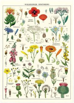 Wrapping paper filled with stunning botanical illustrations of wild flowers and their seed pods. Delicate detail and lovely colours. A great gift wrap for a garden lover or even given as a framed poster. Vintage Botanical Prints, Botanical Drawings, Botanical Art, Vintage Prints, Botanical Posters, Vintage Style, Floral Posters, Vintage Botanical Illustration, Vintage Decor