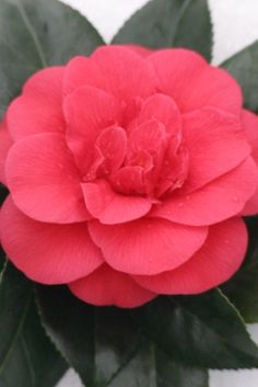 Camellia 'Rosehill Red'  4-10 X 4-5 I accidentally killed this one.  =(