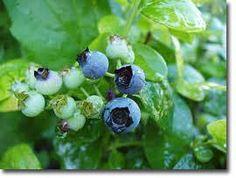 Top Five Edible Shrubs for the Backyard Food Forest Garden (Canberra, Australia)