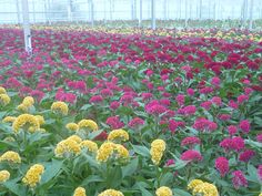 Growing Celosia. From the fields. Summer flowers.