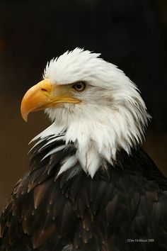 """The bald eagle, with its snowy-feathered (not bald) head and white tail, is the proud national bird symbol of the United States—yet the bird was nearly wiped out there. For many decades, bald eagles were hunted for sport and for the """"protection"""" of fishing grounds."""