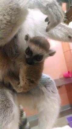 4_IMG_20170301_151340457 Lemur male Han 1